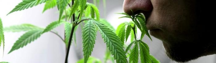 smelling cannabis.jpg